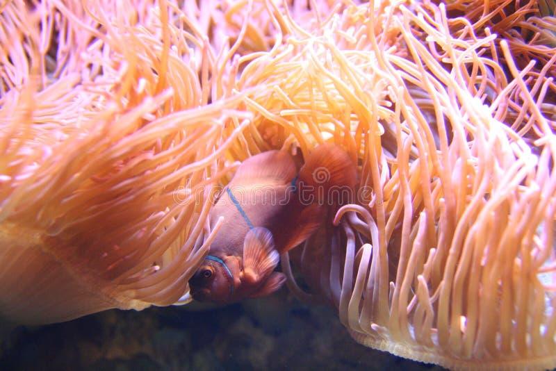 Anemonefish image stock