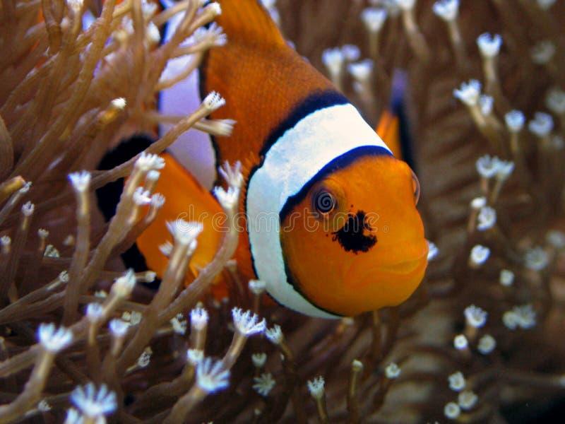 anemonefish στοκ εικόνες με δικαίωμα ελεύθερης χρήσης