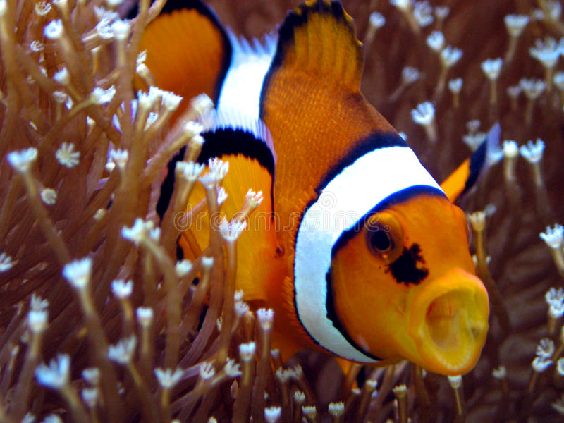 anemonefish 免版税库存照片