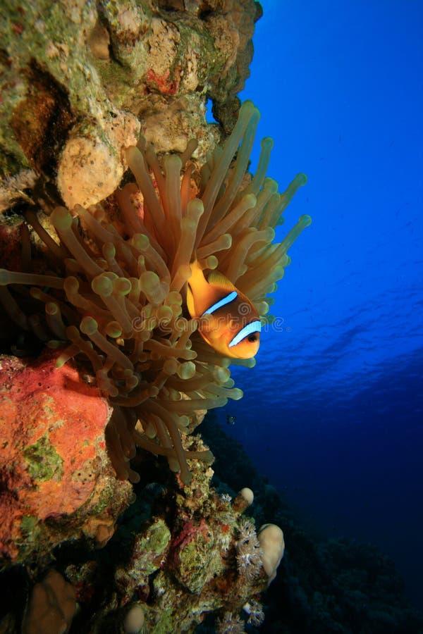 anemonefish royaltyfri bild