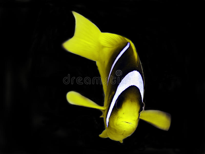 Anemonefish. (clown fish) in the Red Sea stock photography
