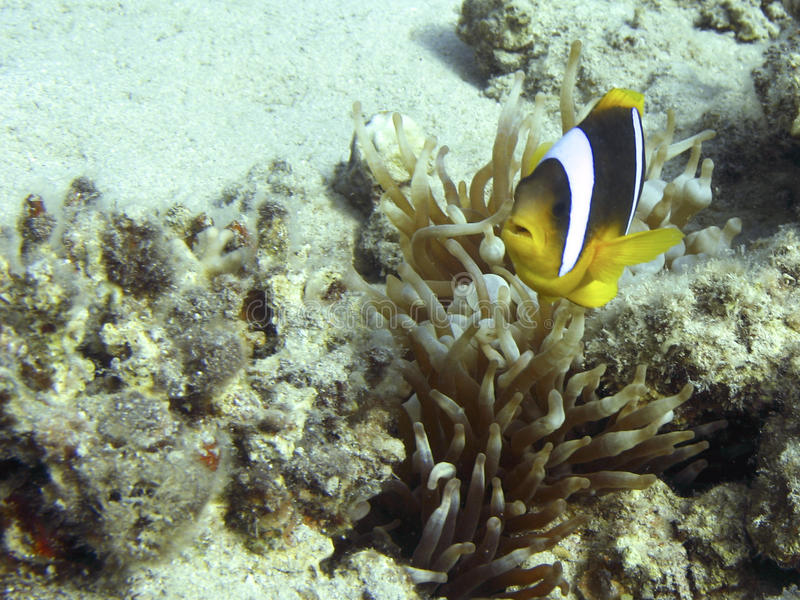 Anemonefish. (clownfish) on a coral reef in the Red Sea - Amphiprion Bicinctus stock images