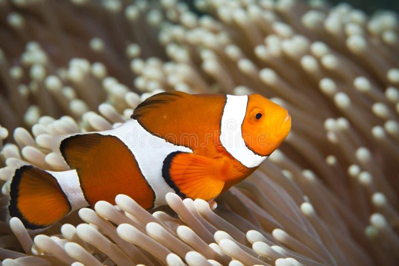 Download Anemonefish stock image. Image of close, tropical, orange - 20334997