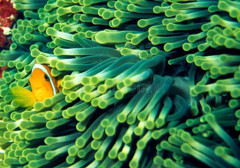 anemonefish стоковое фото