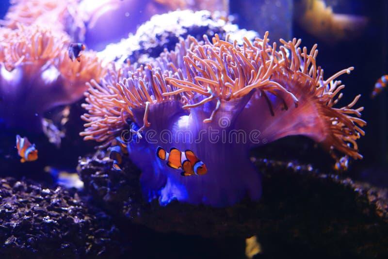 Anemonefish 库存照片