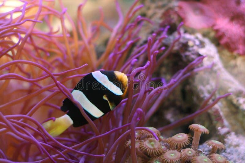 anemonefish arkivbilder