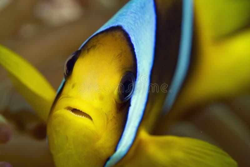 Anemonefish stockfotografie