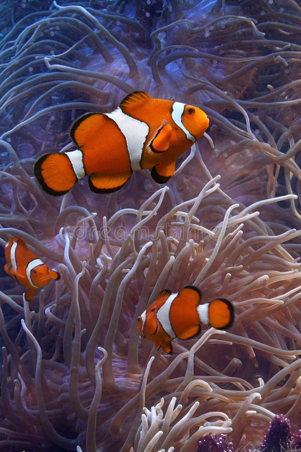 Anemonefish. This is anemonefish swimming in its anemone, underwater royalty free stock images