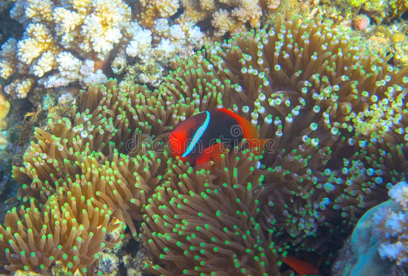 Anemonefish in actinia by coral reef. Tropical seashore inhabitant underwater photo. Coral reef animal. Warm sea nature. Colorful sea fish and coral. Undersea stock photos