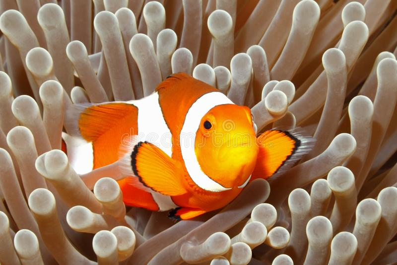 Anemonefish, Amphiprion percula stock foto