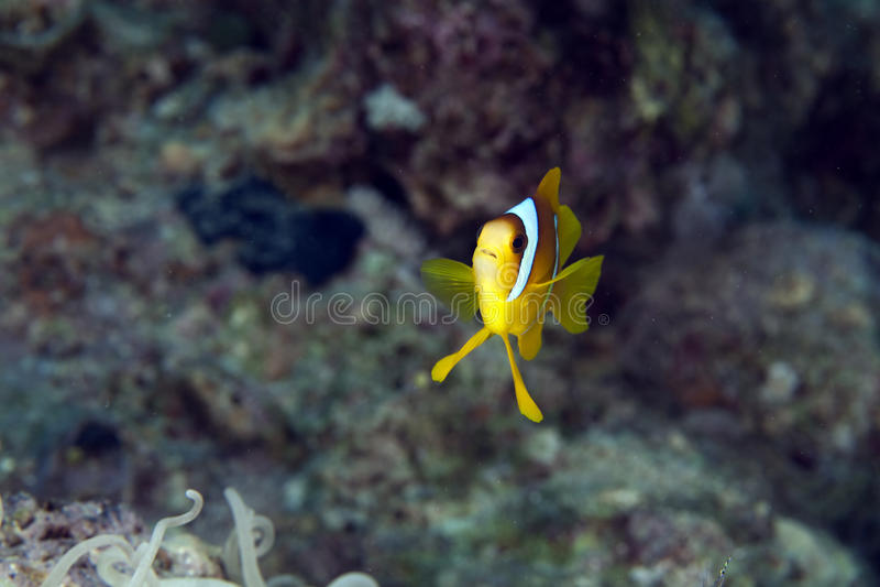 Anemonefish (amphiprionbicinctus) в Красном Море. стоковые изображения
