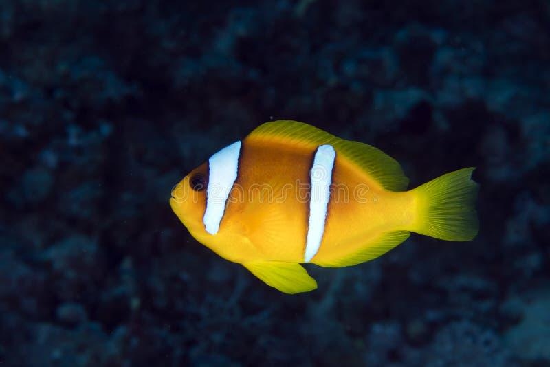 Anemonefish (amphiprionbicinctus) в Красном Море. стоковое изображение