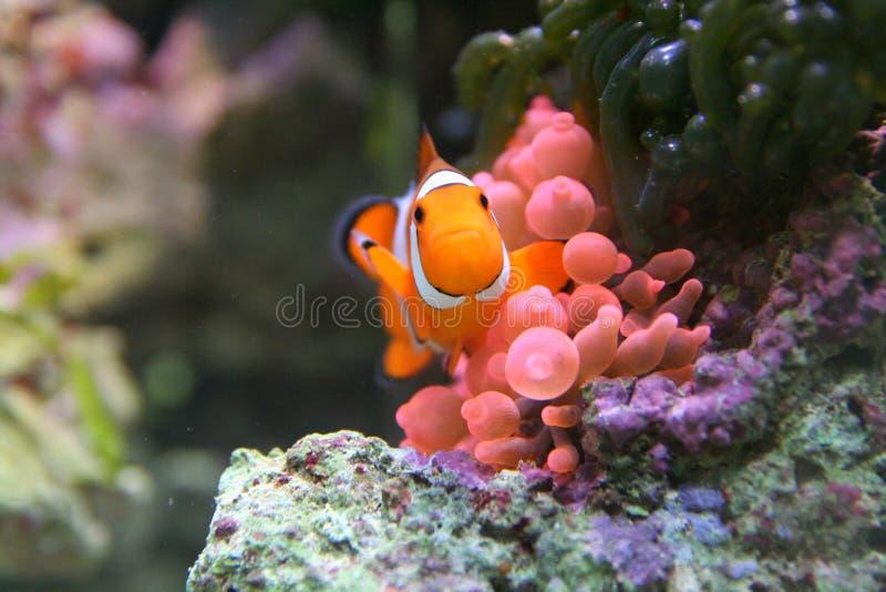 Anemonefish avec des anémones de l'eau photographie stock libre de droits