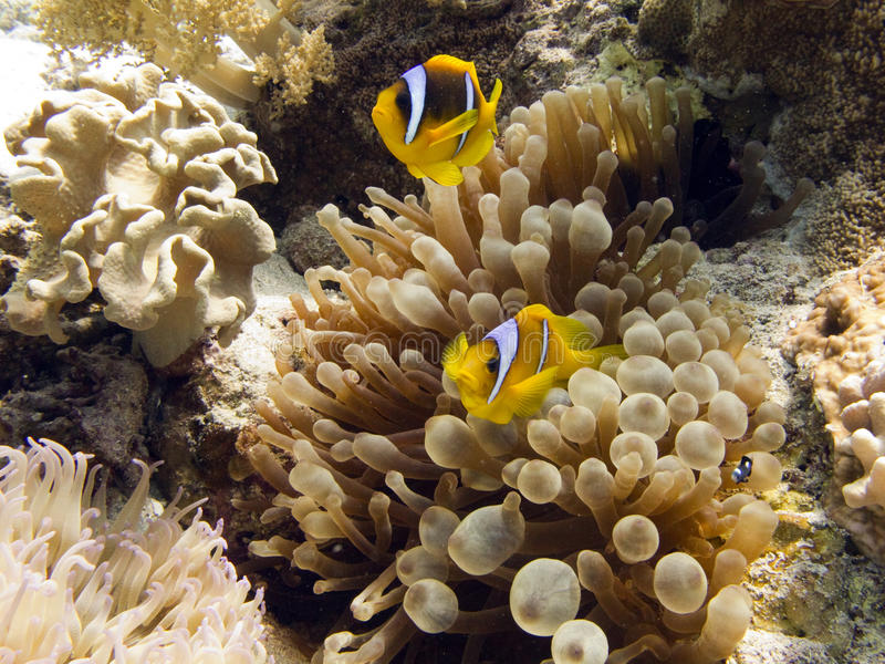 Anemonefish / Clownfish. Anemonefish (clownfish) and anemone. - Amphiprion Bicinctus royalty free stock images