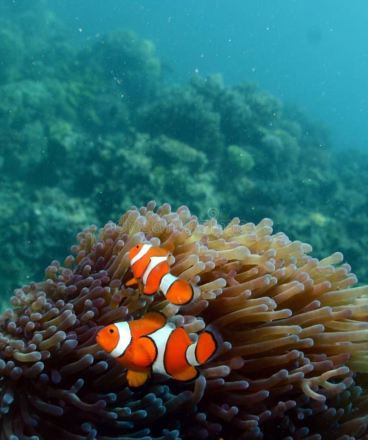 Anemonefish contre des coraux photographie stock