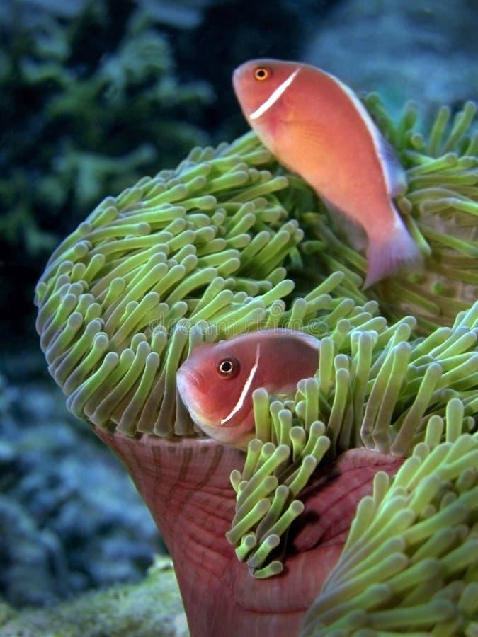 Anemonefish cor-de-rosa fotos de stock