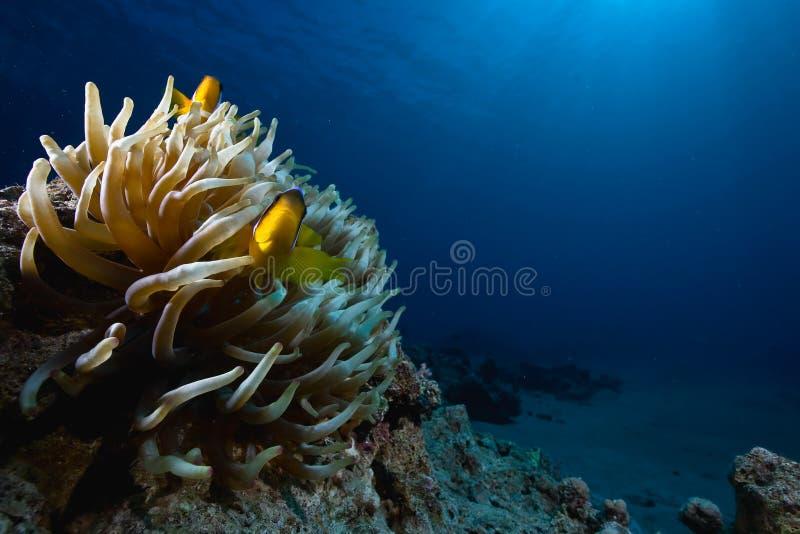 anemonefish d'anémone magnifique images stock