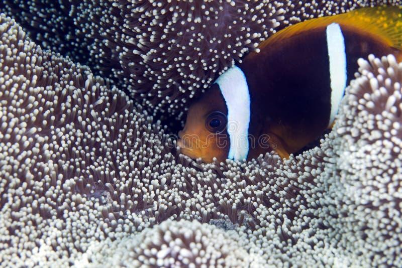 Anemonefish dans l'anémone d'un Haddon images stock