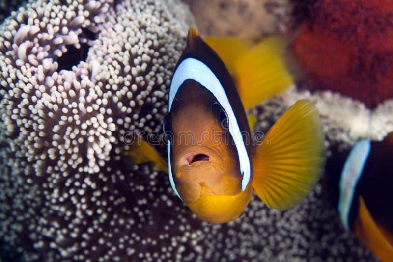 Anemonefish dans l'anémone d'un Haddon images libres de droits
