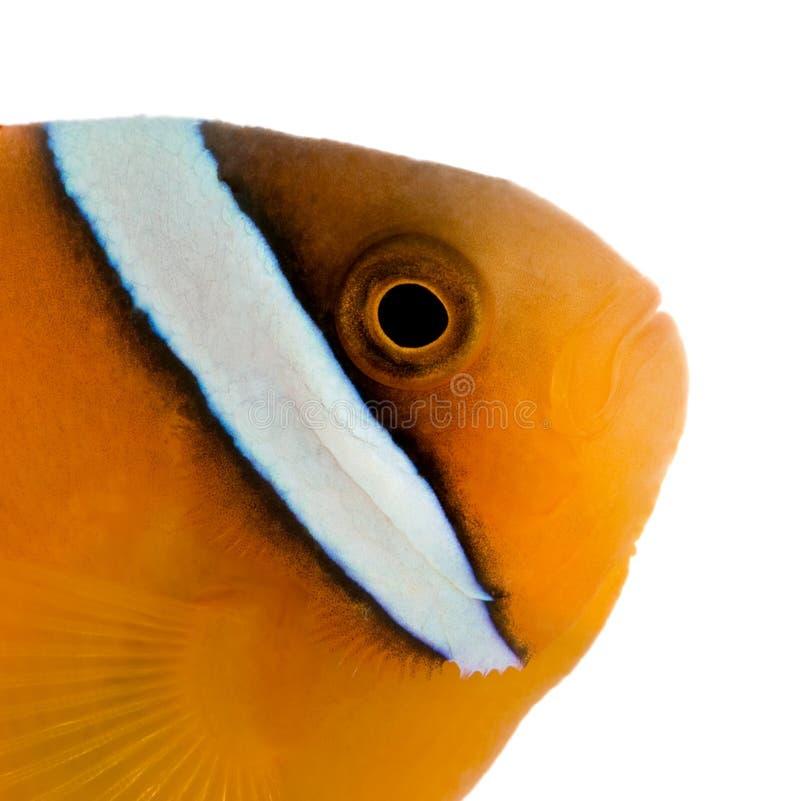 Anemonefish della sella - ephippium del Amphiprion immagine stock libera da diritti