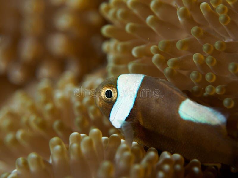Anemonefish in einer Anemone lizenzfreies stockfoto