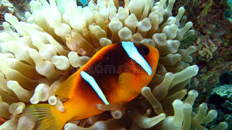 Anemonefish eller clownfish i det röda havet royaltyfria foton