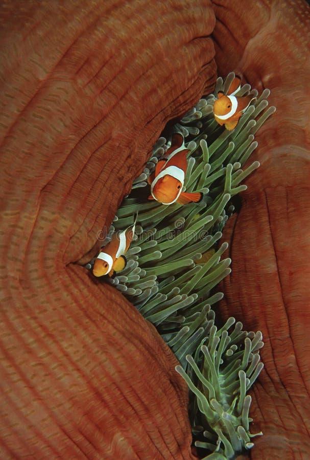 Anemonefish falsi del pagliaccio di Raja Ampat Indonesia Pacific Ocean (ocellaris del amphiprion) nell'anemone di mare (Heteractis fotografie stock libere da diritti
