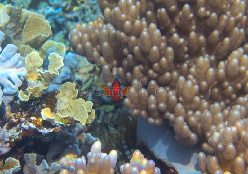 Anemonefish i korallreven, undervattens- foto Orange clownfish ser in i kamera Nyfiken och gullig Nemo fisk arkivbilder