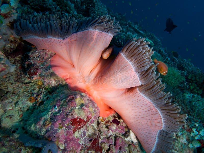 Anemonefish maldivo foto de archivo