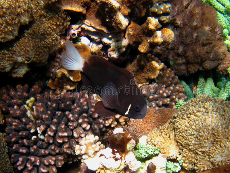 Anemonefish. McCulloch's Anemonefish (Amphiprion mccullochi) investigating the coral stock images