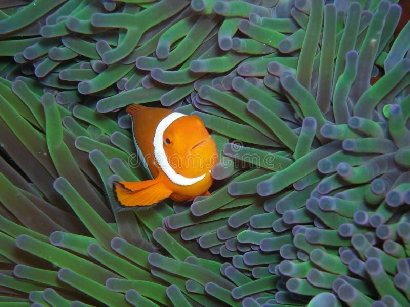 anemonefish nemo klauna, prawda zdjęcia stock