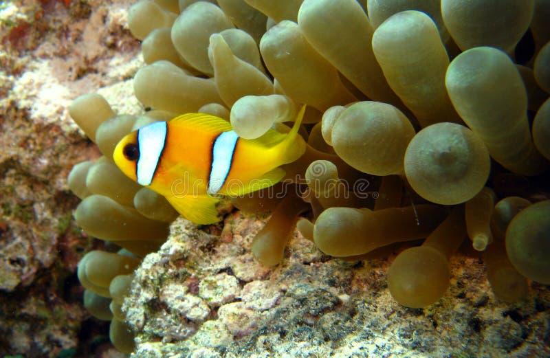 Anemonefish o clownfish nel Mar Rosso fotografia stock libera da diritti