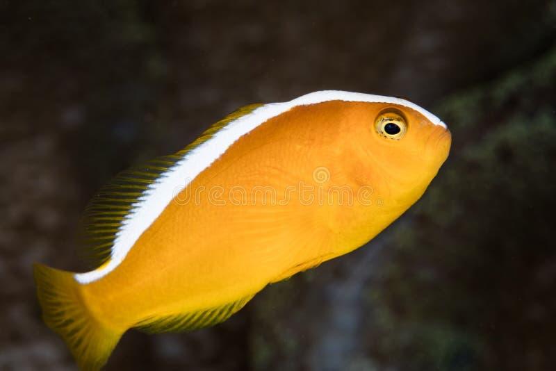 Anemonefish orange photos libres de droits