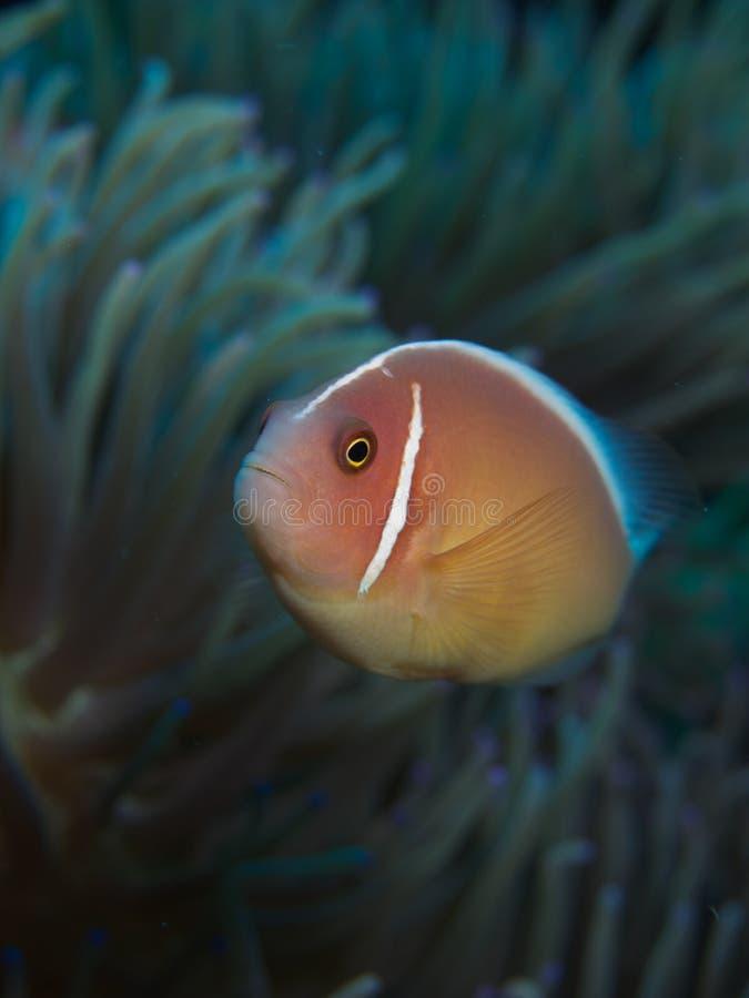 Anemonefish rosado imagen de archivo