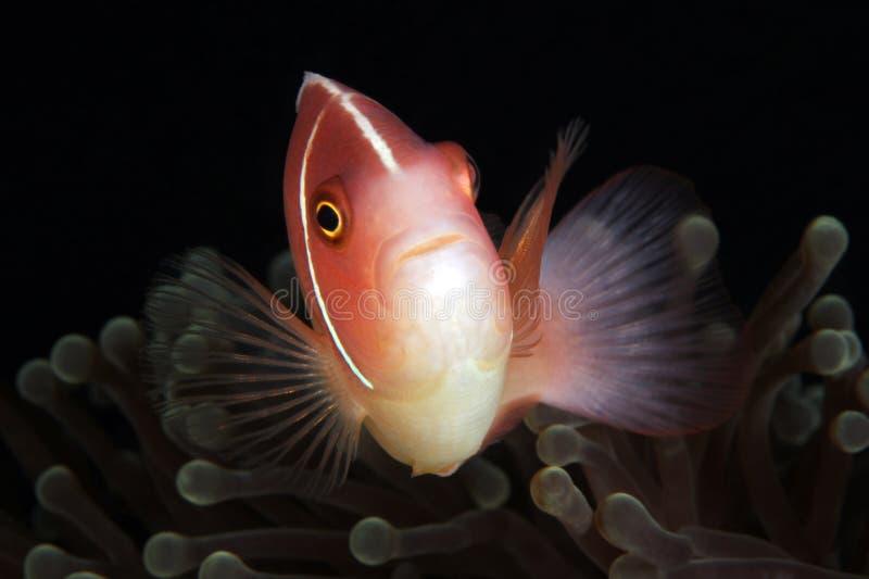 Anemonefish rose dans l'anémone photographie stock libre de droits