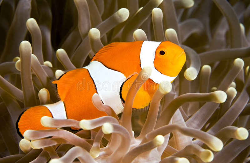 anemonefishclown royaltyfria bilder