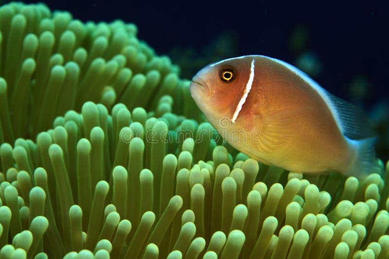 anemonefishpink royaltyfri foto