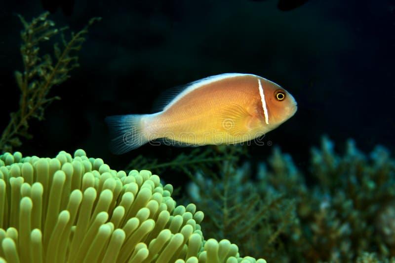 anemonefishpink arkivbilder