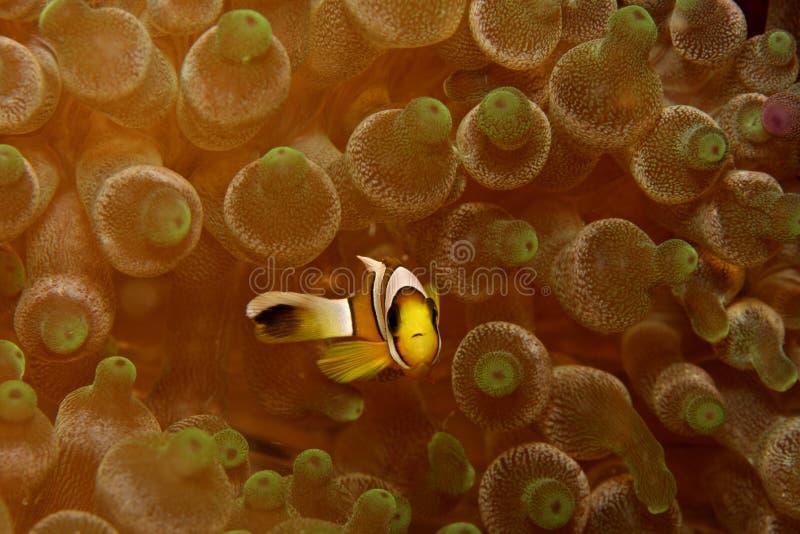 anemonefishsaddleback royaltyfria foton