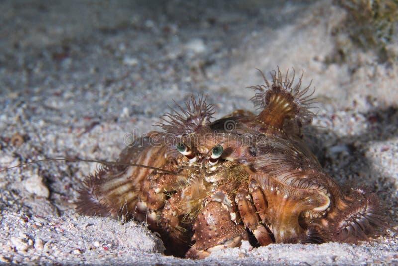 Anemonen-Einsiedlerkrebs Dardanus-tinctor des Roten Meers lizenzfreies stockfoto