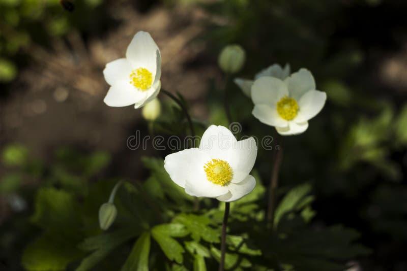 Anemonen f?r anemonsylvestrissn?droppen ?r en perenn v?xt som blommar i v?ren, vita blommor i botaniska tr?dg?rden, bakgrund arkivfoto