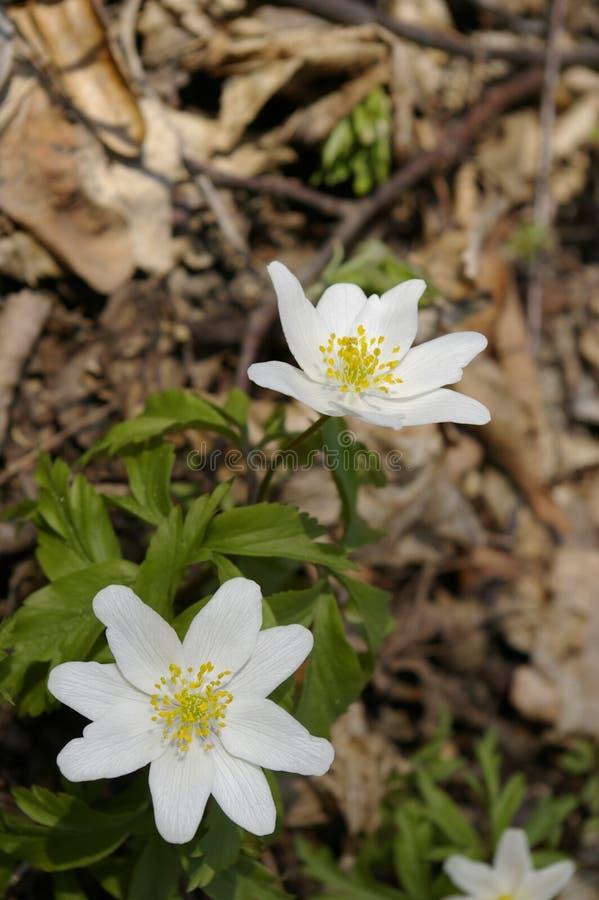 Anemonenblumen lizenzfreie stockfotografie