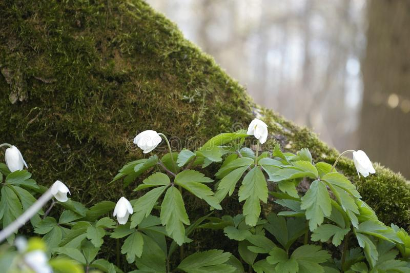 Anemonenblumen stockbilder