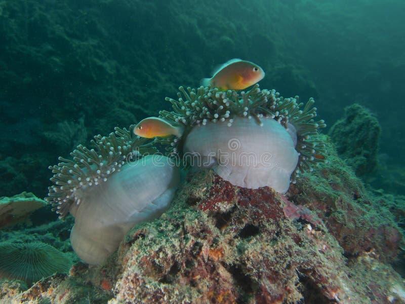 Anemonenfische lizenzfreies stockfoto
