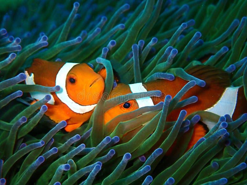 anemoner f?r 1 bars 3 7 9 10 18 alla amphiprionamphiprioninaeanemonefish oisolerat blackish cmclownfish den beroende genusen f?r  arkivbilder