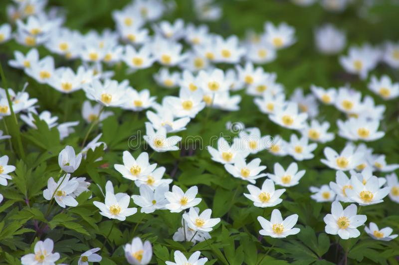 Anemones – wild white flowers in the wood royalty free stock photo