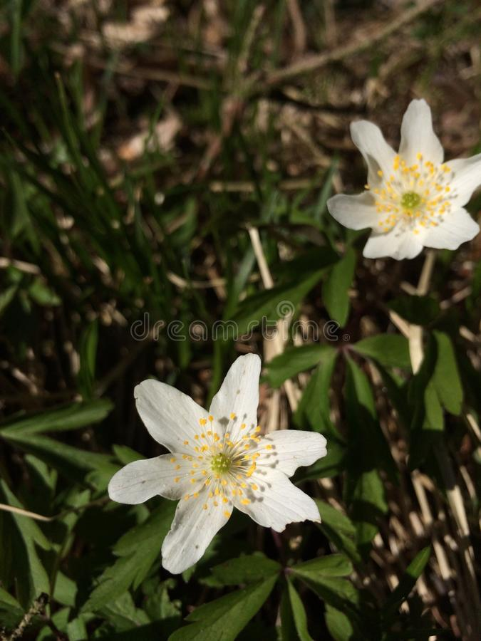 anemones fotografia stock