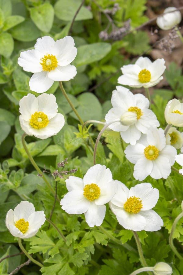 Anemones bianchi Ranuncoli naturali degli anemoni dei ranuncoli con gli stami gialli dei petali bianchi della natura, fiori in an immagine stock libera da diritti