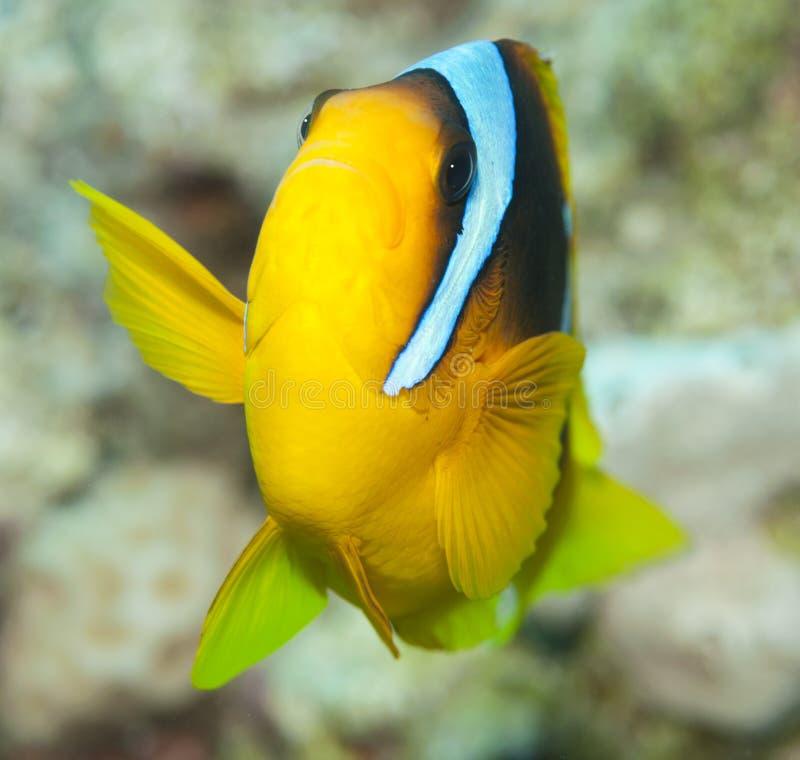 anemonfisk royaltyfri foto