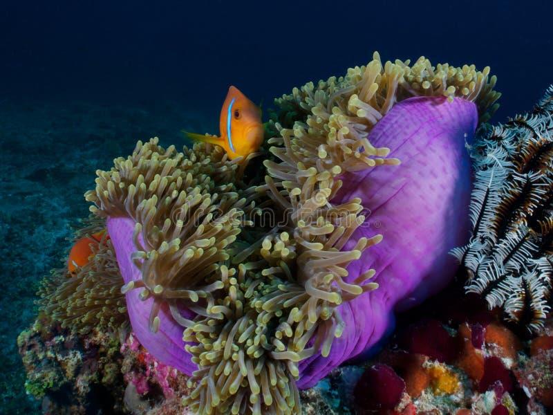 Anemonfisk (Nemo) royaltyfri fotografi